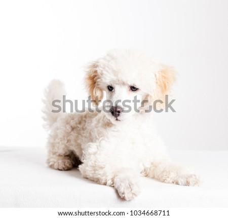 Tiny white poodle in studio with white background