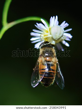 tiny white spider caught a honey bee on a Daisy field.little spider for lunch - stock photo