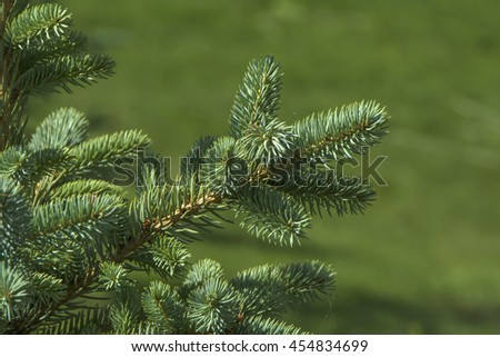 tip of the fir tree branch, close-up shot, selective focus - stock photo