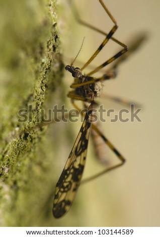 Tipulidae - stock photo