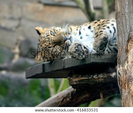 Tired Amur leopard (Panthera pardus orientalis) - stock photo
