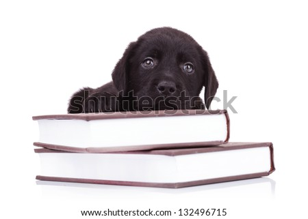 tired and cute black labrador retriever puppy dog lying down on some books - stock photo