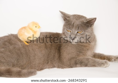 Tired baby chick over the chartreux kitten isolated on white background. - stock photo