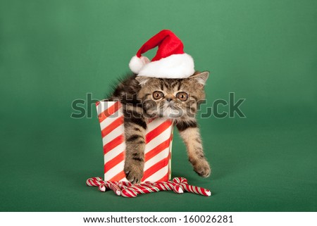 Tired Brown tabby Exotic kitten with Santa cap hat sitting inside Christmas vase container with candy canes on green background - stock photo