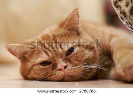 tired cat - stock photo