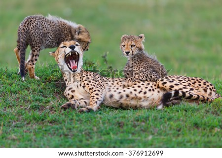 Tired Cheetah Nora with her two cubs in Masai Mara, Kenya - stock photo
