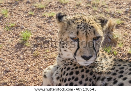 Tired cheetah resting on the ground. Picture taken in Namibia.