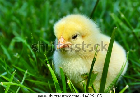 Tired chick on grass