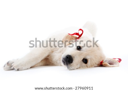 Tired cute retriever puppy resting with red bows