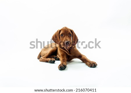 Tired dog. Young Hungarian Vizsla laying on the ground looking tired and sad. - stock photo
