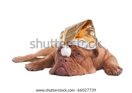 Tired Dogue De Bordeaux Puppy With Golden Christmas Hat Isolated - stock photo