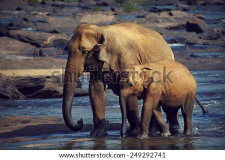 Tired elephants dozing while walking - stock photo