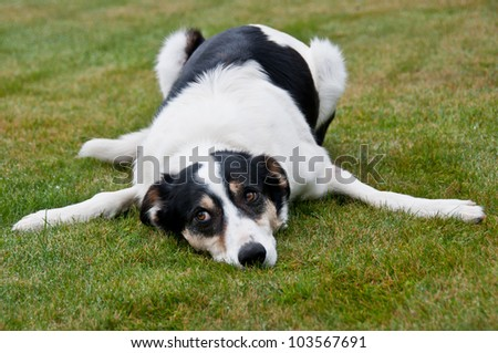 Tired farm working dog - stock photo