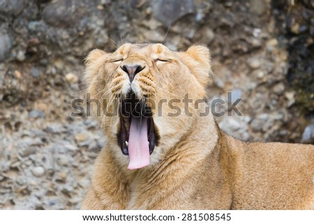 Tired female lion yawning - stock photo
