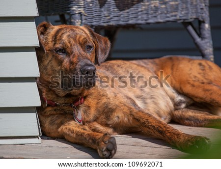Tired hound lying out on the porch - stock photo