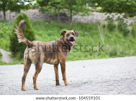 Tired hound waiting for your command - stock photo