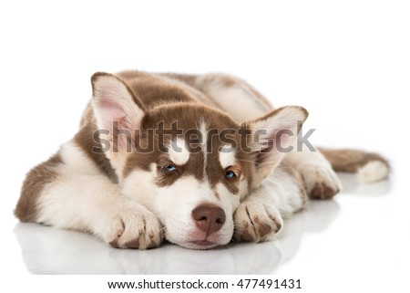 Tired husky puppy isolated on white