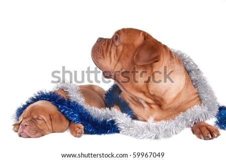 Tired puppy felt asleep while waithing for Christmas - stock photo