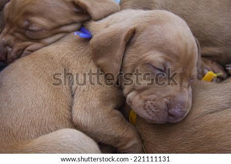 tired sleeping puppy, Hungarian Pointer, Vizsla, detail - stock photo