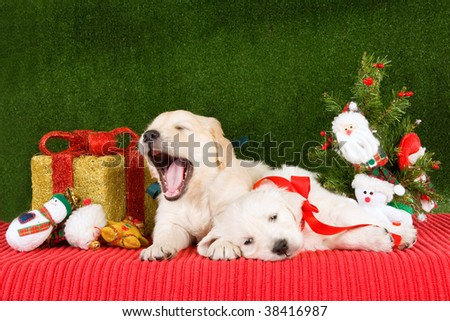 Tired sleepy Golden Retriever puppies with Christmas tree, gift and toys