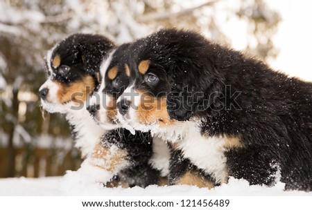Tireless bernese mountain dog puppets ready play game - stock photo