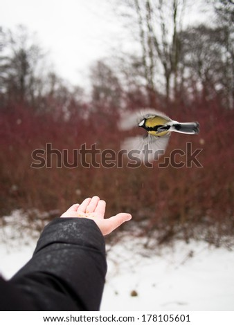 Tit flies over hand on a background of bushes - stock photo