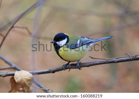 tit on a branch - stock photo