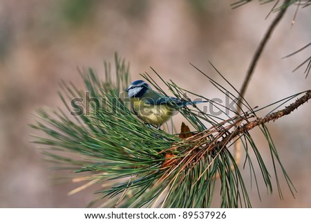 tit on branch - stock photo