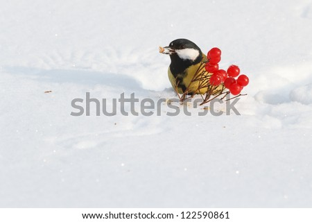 Tit on snow and viburnum berries - stock photo