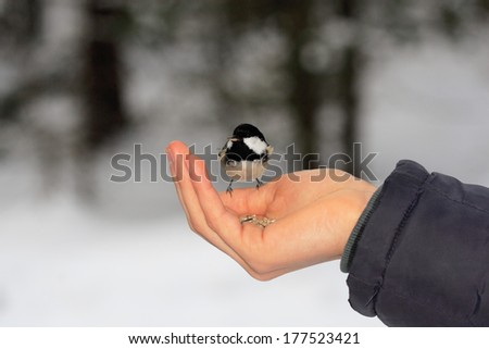 Tit Parus montanus alpine passerine bird feeders winter gardening gardering animals in the Swiss city pontresina - stock photo