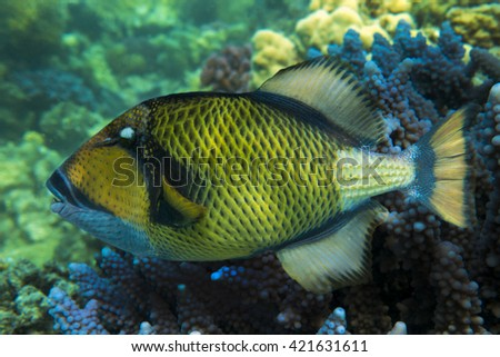 Titan triggerfish - Balistoides viridescens and coral reef