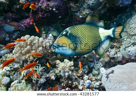 Titan Triggerfish on the coral reef - stock photo