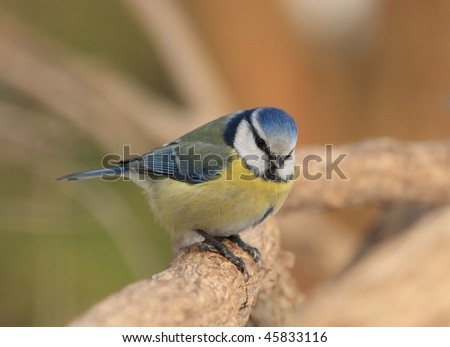 titmouse - stock photo