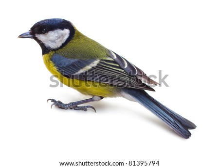 Titmouse bird on a white background close up - stock photo