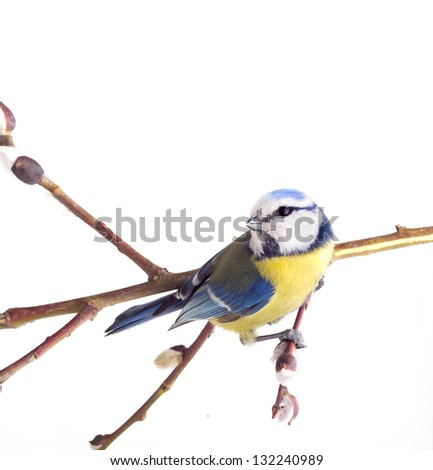 titmouse bird on tree branches on a white background. spring. - stock photo