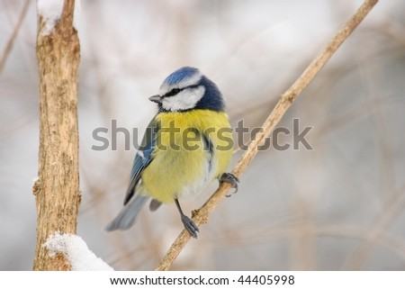 titmouse in the winter - stock photo