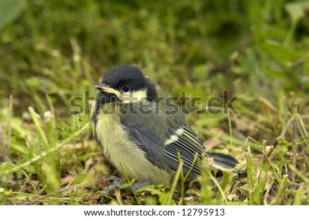 Titmouse on a green background