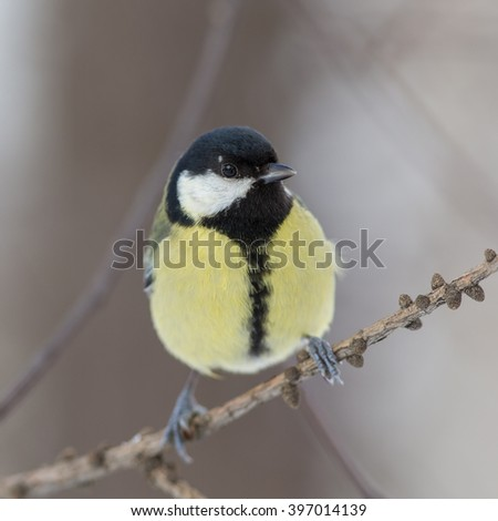 Titmouse on a tree branch close up - stock photo
