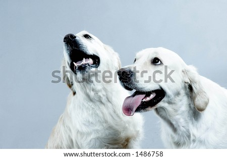 to white dogs on blue