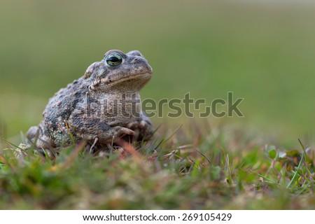 Toad - Bufo calamita - stock photo