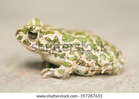 Toad - Bufotes viridis - stock photo
