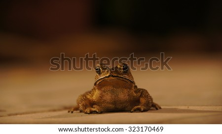 Toad frog close up picture front of the animal in a dark environment showing the eyes nose and mouth of the creature and the front arms sitting up and being alert high resolution and halloween picture - stock photo
