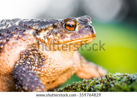 Toad frog on grass with big eyes - stock photo