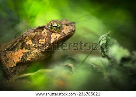 toad in the Amazon rain forest. Small frog Rhinella typhonius in the tropical rain forest. Amphibian species lives in the rainforest of Peru Bolivia, Brazil Ecuador, Colombia - stock photo