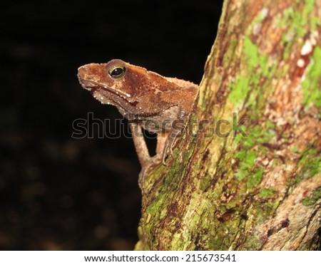 Toad in Yasuni National Park, Amazon rainforest, Ecuador - stock photo