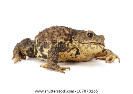 Toad Isolated on White Background - stock photo