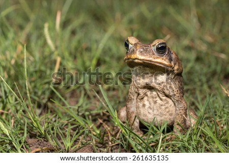 Toad of amazon river - stock photo