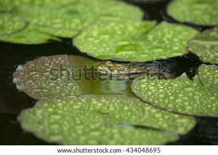 toad sitting on a water lily in the rain. a Frog resting on a lotus leaf - stock photo