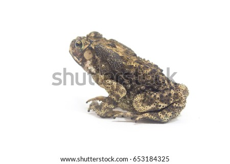 Toad White Background form phuket Thailand