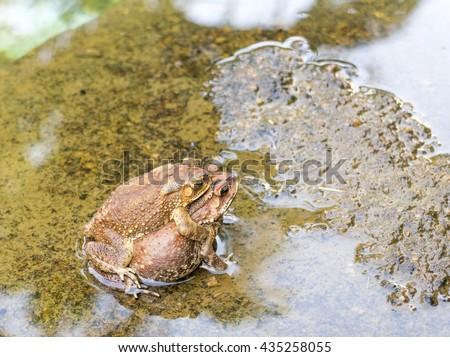 Toads are breeding - stock photo